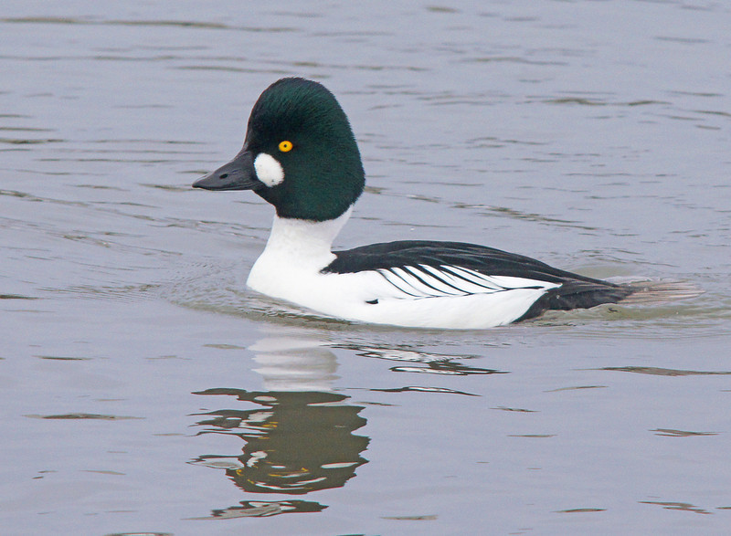 Common Goldeneye 001<br /> <br /> The warm weather has also made several species of wildlife active. We have had a flock of Common Goldeneyes that have wintered in the Grand Marais harbor. This week they were active in courtship.