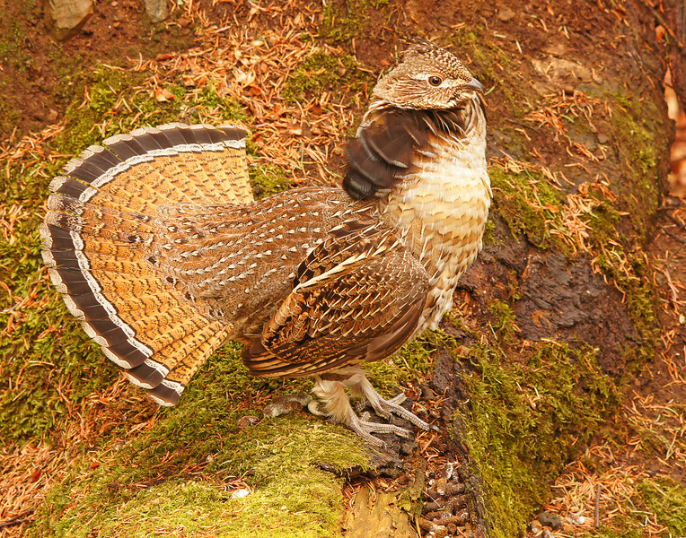 Displaying Ruffed Grouse 001<br /> <br /> This grouse was so tame that it let me walk within 15 feet and even sit on its log. It made for some really nice close-up photos.