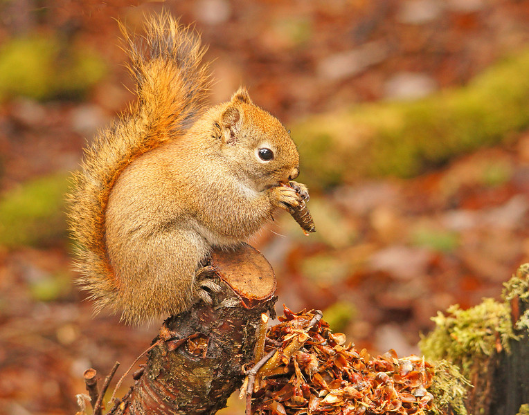Red Squirrel 001<br /> <br /> If you spend some time just sitting in the woods it is amazing what can be seen.