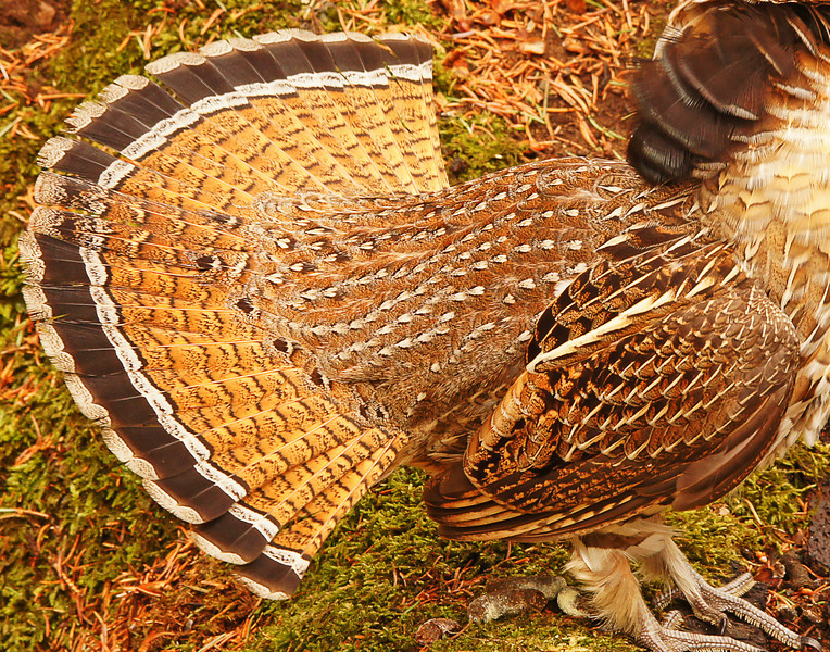 Displaying Ruffed Grouse 002<br /> <br /> I just love the beautiful designs in the feathers especially when the male ruffed grouse fans out its tail and puffs up its neck feathers. These patterns not only give it beauty but provide for camouflage.