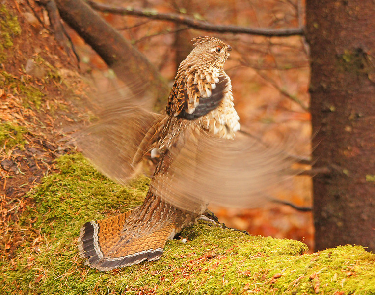 Drumming Ruffed Grouse 001<br /> <br /> Our spring-like weather seems to be continuing. Last night both the wood frogs and spring peepers started calling. I drove to Cascade River State Park to check on the resident ruffed grouse and a beautiful red phase grouse was drumming on a log right next to one of the campsites. This is about a month earlier than the drumming typically starts.