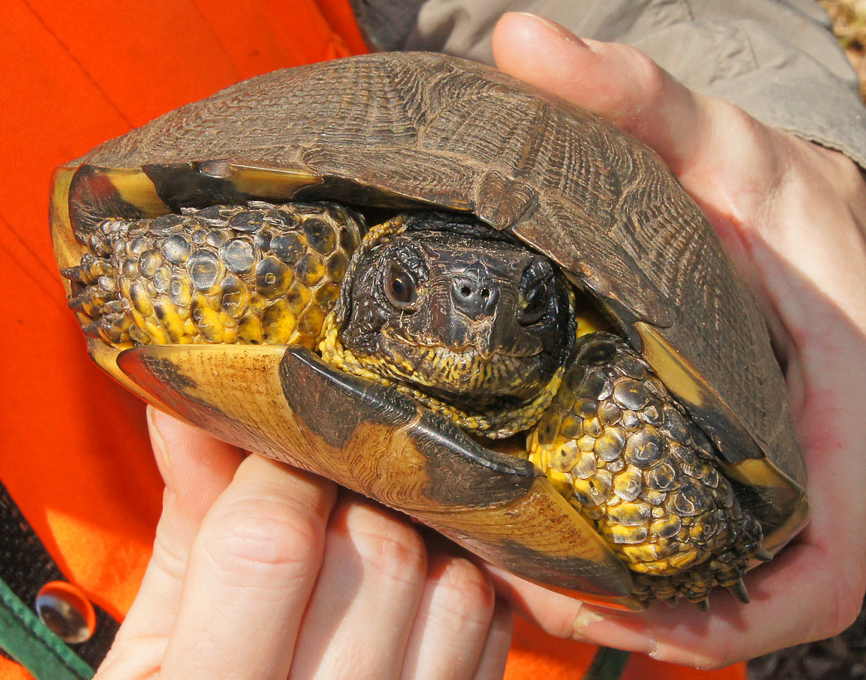 Wood Turtle 003<br /> <br /> During the day over a dozen wood turtles were located, measured, aged, weighed and released back onto the well drained sand piles to continue nesting.