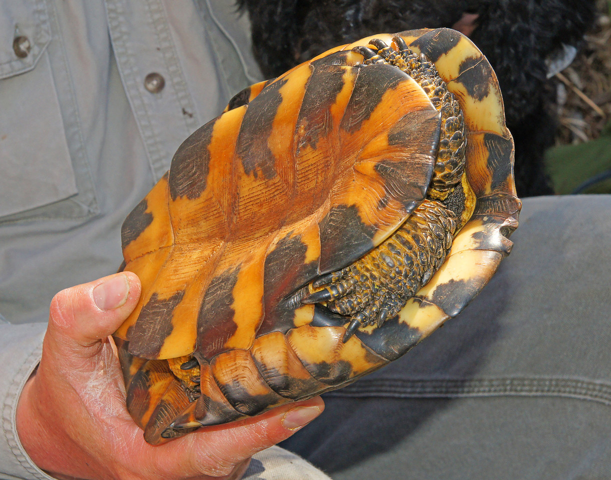 Wood Turtle 005<br /> <br /> The adult male wood turtle can be distinguished from the female by the concave shape of their lower shell.
