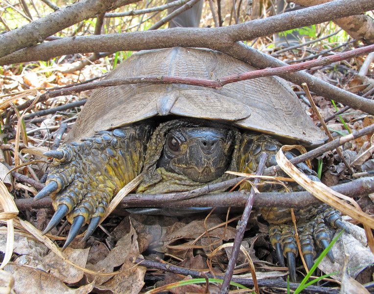 Wood Turtle 002<br /> <br /> It was a lot of fun to see the turtles borrow into the underbrush to remain out of site.