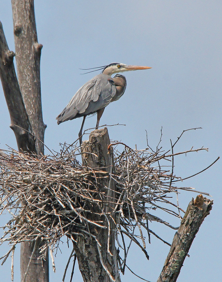 Great Blue Heron 001<br /> <br /> A very interesting stop for the day was a great blue heron rookery located west of Island Lake outside of Duluth. This year there are 17 active nests which have two to three little chicks each.