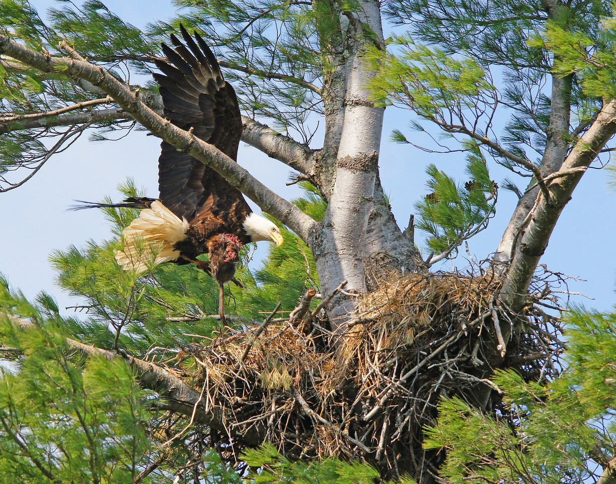 Bald Eagle Nest 001<br /> <br /> Next stop was a couple of eagle nests. Just as we arrived at the first nest one of the adults brought in a fish for the babies. We sat and watched along with several groups of fourth graders from the Lake Superior School District in Two Harbors that were on a field trip.<br /> <br /> Soon the other adult circled overhead carrying what we first thought was a snake as we saw a long tail hanging down. When it got to the nest we were surprised to see that it was a muskrat. The muskrat had most likely been feeding on grass along the shore and never saw the eagle overhead until it was too late. We showed several of the fourth graders the photo on the camera. Some thought it was kind of gross as the adult had eaten the head before bringing it to their young.