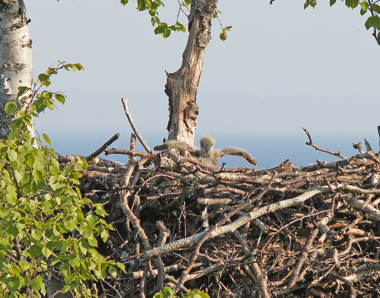 Bald Eagle Nest 003<br /> <br /> The one was stretching its wings in the first stages of learning how to fly.