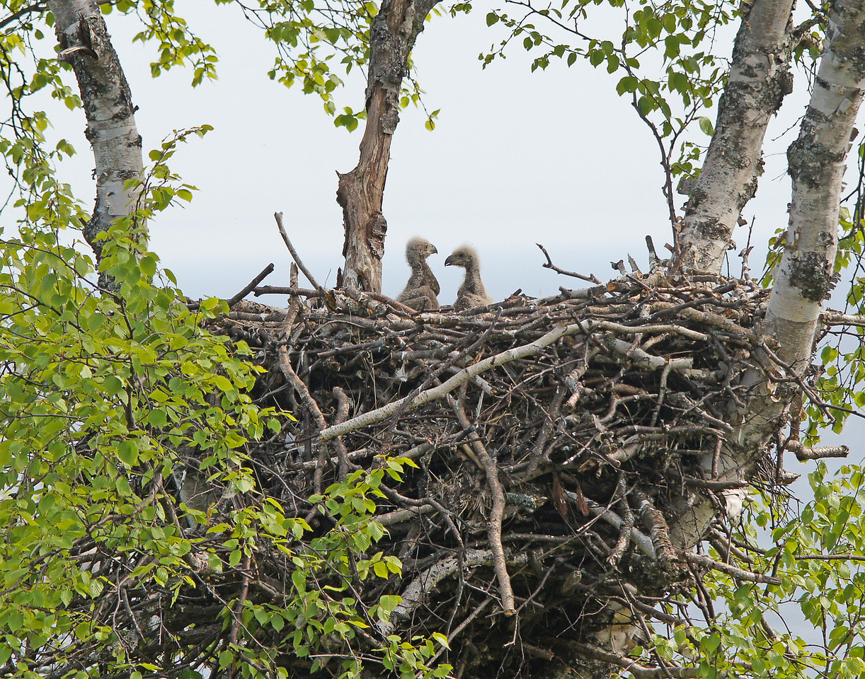 Bald Eagle Nest 002<br /> <br /> The next eagle nest had two very young eaglets but no adults brought food while we were there.