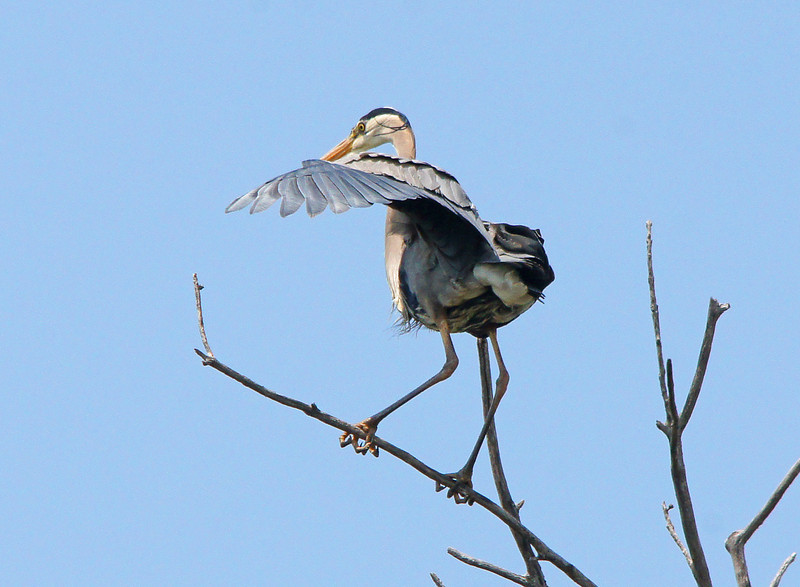 Great Blue Heron 003<br /> <br /> I think it's comical to see a blue heron land on a branch or roosting in a tree. They just seem out of place.