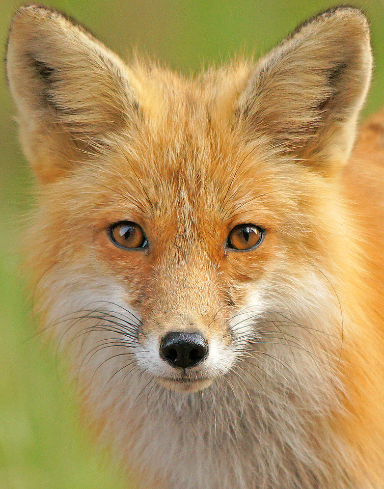 Friendly Foxes 003<br /> <br /> Mom is always close by either hunting or watching out for her young.