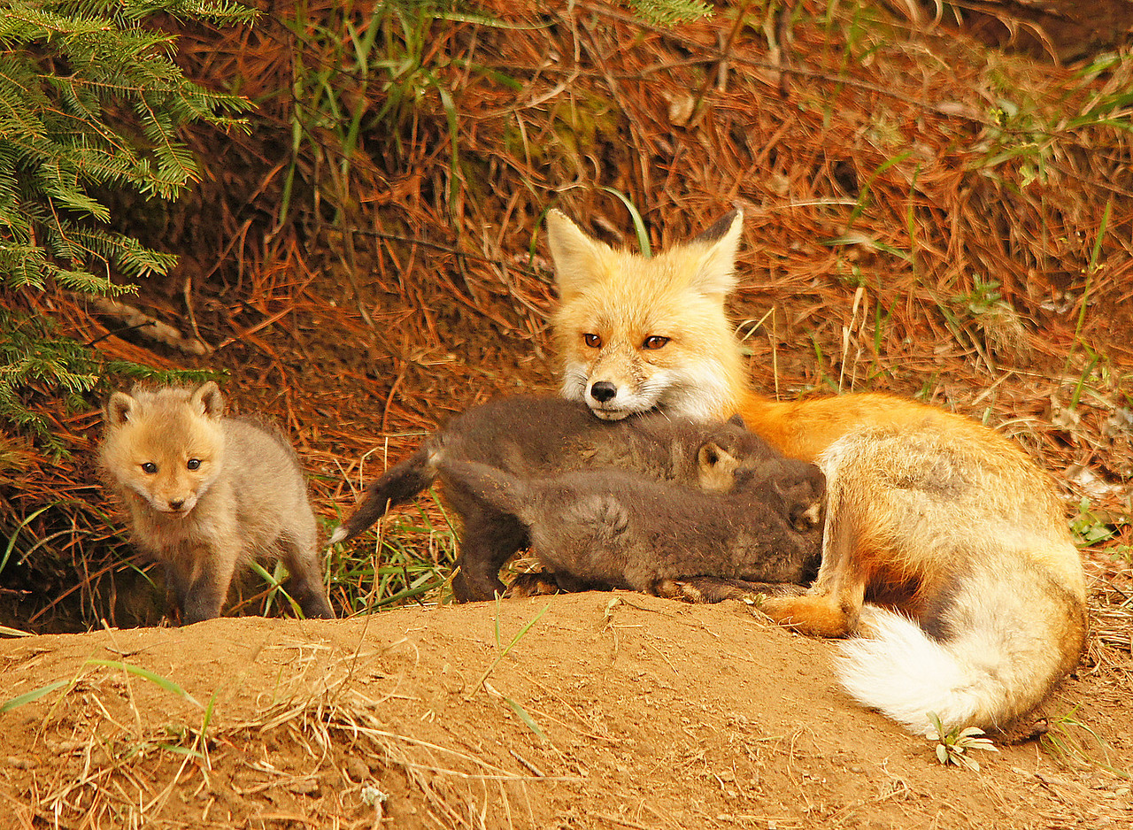 Red Fox Kits 004<br /> <br /> As soon as the mom lay down, all three kits jumped on her trying to get some milk.