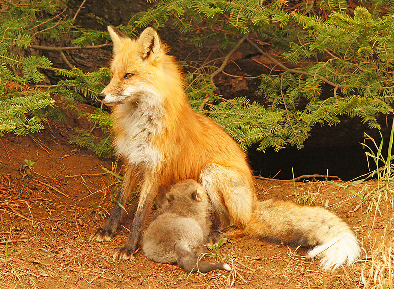 Red Fox Kits 002<br /> <br /> The mom began to nurse the kit.