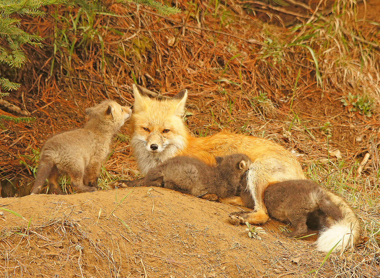 "Red Fox Kits 007<br /> <br /> It put its mouth up to the mom's ear and I could imagine it saying ""My brothers won't make room for me, Mom""."