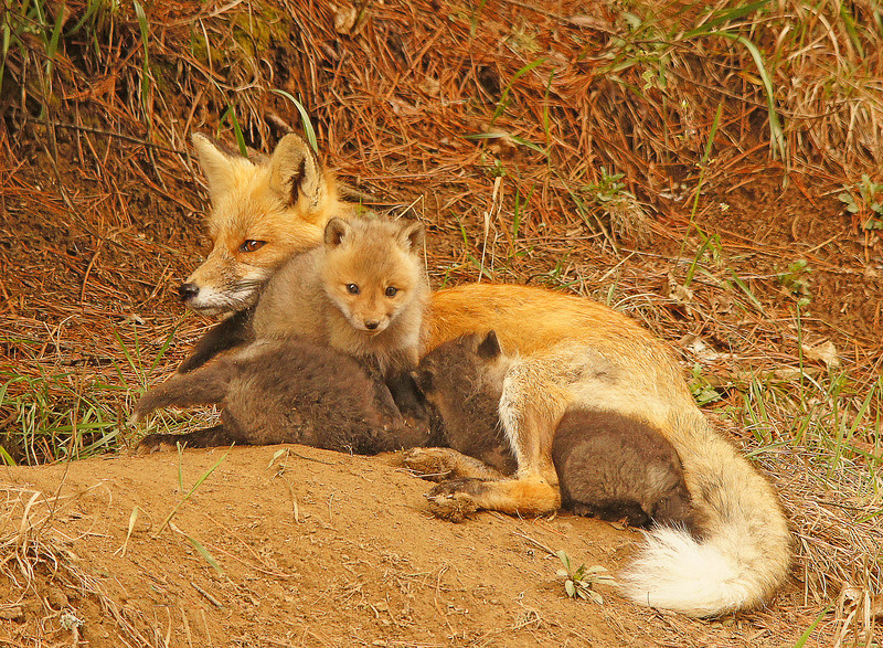 Red Fox Kits 005<br /> <br /> The two darker ones blocked the lighter one so it didn't get a chance to feed.