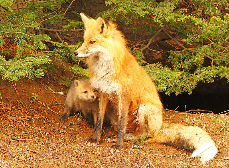 Red Fox Kits 001<br /> <br /> A friend of mine told me that red fox kits were seen at a den along Hwy 2 north of Two Harbors. On Friday I went to see if I could get some photos of the fox kits. I found the den at about 9:00 a.m. and noticed what I thought was the male curled up under a pine tree. I sat in the car and waited, hoping that the female would show up. The den is in a beautiful location along a hillside right under some pine trees. After a while the female appeared and a cute little red fox kit popped out of the den.