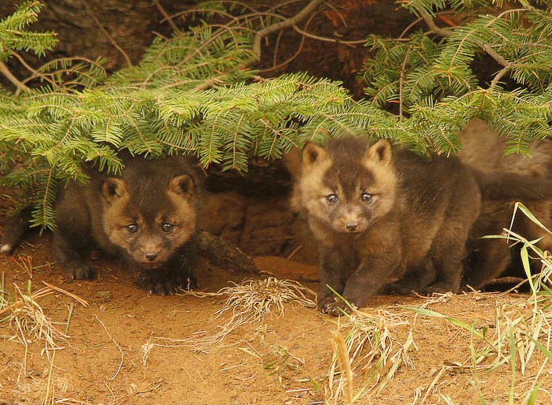 Red Fox Kits 009<br /> <br /> They didn't even look like fox but reminded me of a pine martin or a fisher. The two darker ones may turn out to be cross fox which is a darker phase of the red fox.  Fox parents can have both red and cross kits in the same litter.