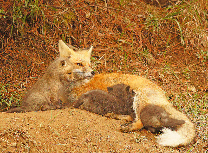 Red Fox Kits 006<br /> <br /> The lighter one ran around the mom several times jumping on her back and trying to find an opening.