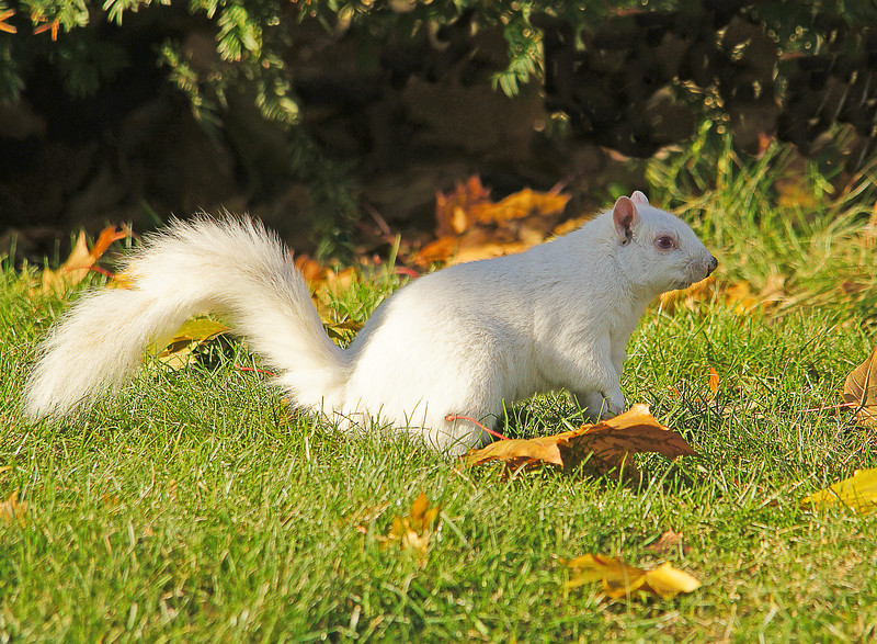 Albino Gray Squirrel<br /> <br /> We also saw this albino gray squirrel.