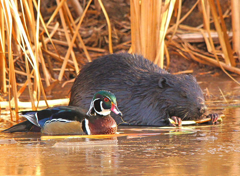 "Beaver Pond 008<br /> <br /> Soon it is side by side with the beaver having lunch. At this point I am thinking the wood duck is saying something like, ""Well it has been nice having lunch with you but I think I need to head South"". Soon the wood duck takes to the air and hopefully will catch up to his friends who I am sure are many miles ahead of him."