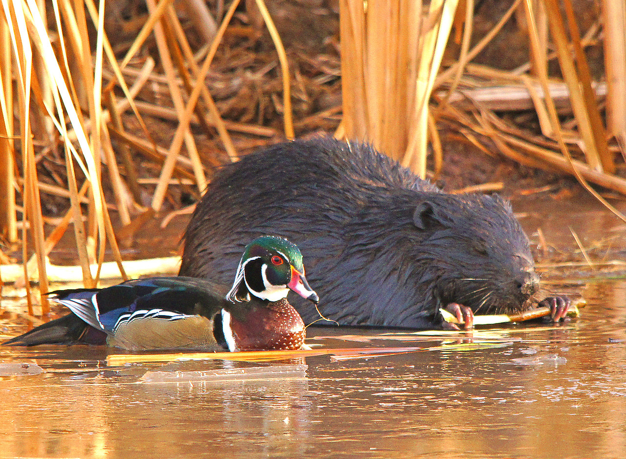 """Beaver Pond 008<br /> <br /> Soon it is side by side with the beaver having lunch. At this point I am thinking the wood duck is saying something like, """"Well it has been nice having lunch with you but I think I need to head South"""". Soon the wood duck takes to the air and hopefully will catch up to his friends who I am sure are many miles ahead of him."""