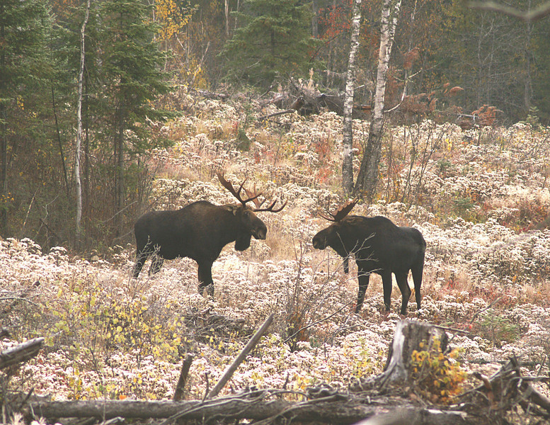 Moose Madness 009<br /> <br /> The two had a stare down for several minutes before the smaller bull decided he didn't want to fight and ran.
