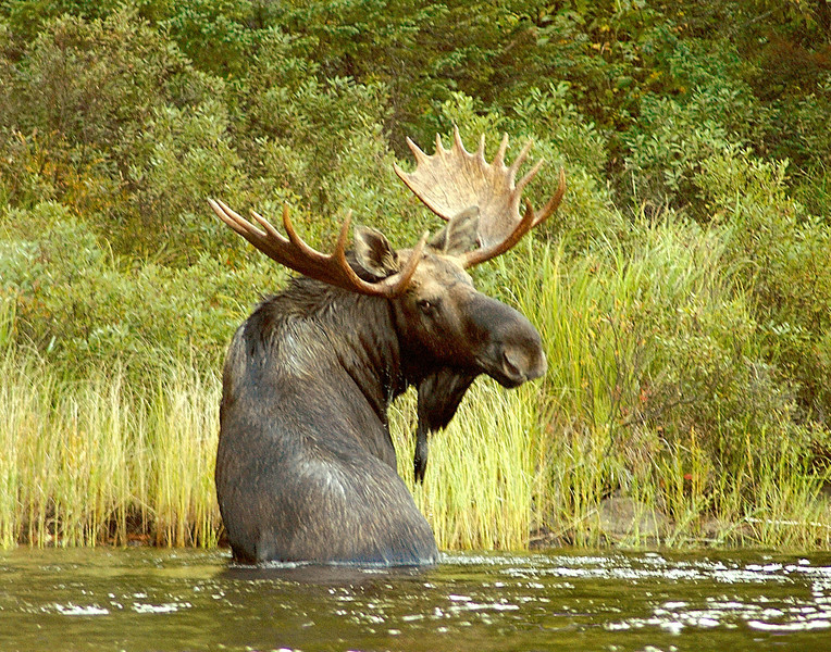 Moose Madness 007<br /> <br /> He walked across the island and swam up the Kelso River. We got close again and the same thing happens, I called and he looked back.