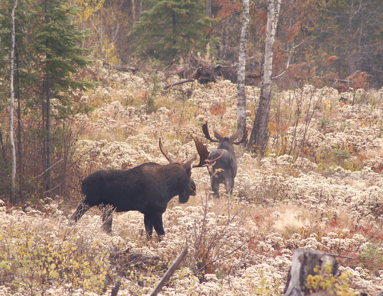 Moose Madness 010<br /> <br /> We called again and he spun around and attempted to get past the bigger bull. The bigger one chased him around the corner and then they fought. When two thousand pound animals charge each other, the sound of the antlers as they collide is amazing. The sound echoed throughout the valley.