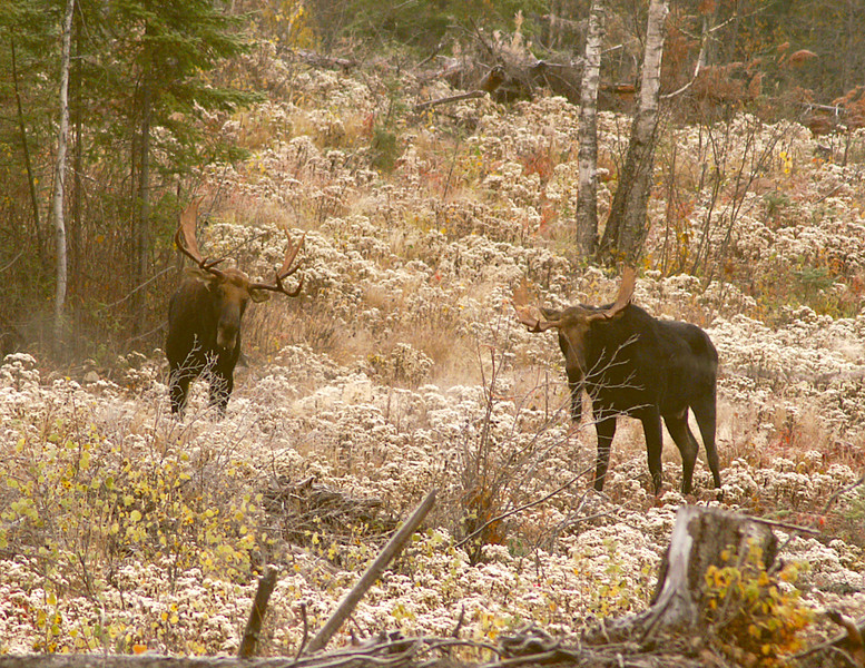 Moose Madness 008<br /> <br /> The last Moose Madness encounter occurred with another friend of mine Sparky Stensaas. Sparky and I hiked into a spot on the Bally Creek Road where we had seen moose tracks earlier. We got onto a pile of down trees and called for about an hour when a bull answered us. We heard him grunt while he was several hundred yards away. When he broke out in the open he kept coming toward us. He shook his antlers and continued grunting. While he was still about 100 yards from us a larger bull stepped out from the woods and confronted him.