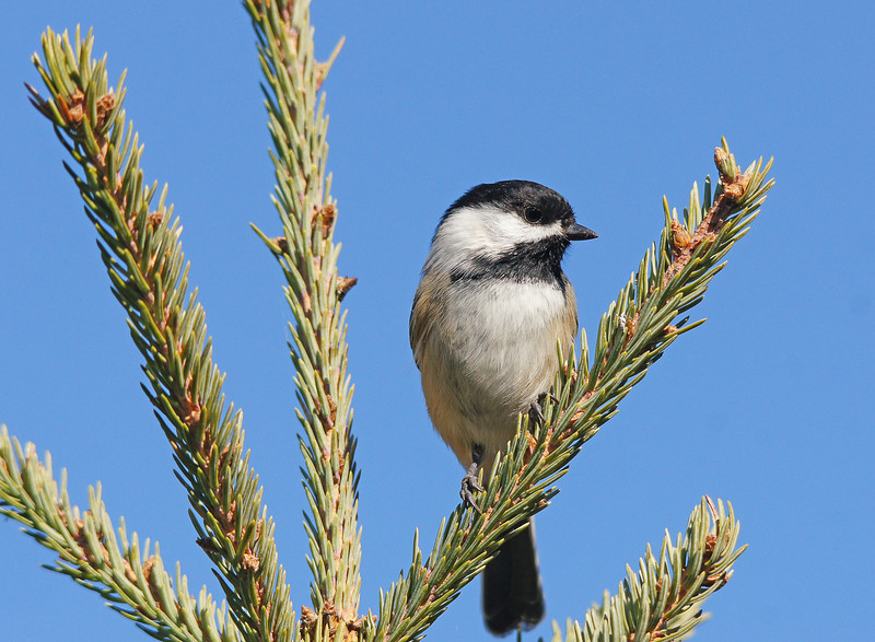 Chickadee<br /> <br />  We imitated the sound of a cow moose and could visualize a bull coming out of the fog in front of us. The morning was so quiet that sound carried for miles. As the sun came up the birds became active.  From chickadees to woodpeckers they began their morning feeding and came by to check us out.