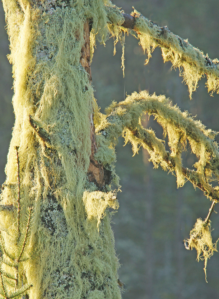 Lichen Covered Birch<br /> <br /> As the sun's rays warmed the vegetation around us water started to evaporate creating even more ground fog.  The lichen covered trees started to look like we were in an enchanted forest. We never got a moose to answer but all three of us agreed that it was a pretty exceptional morning to be in the woods.