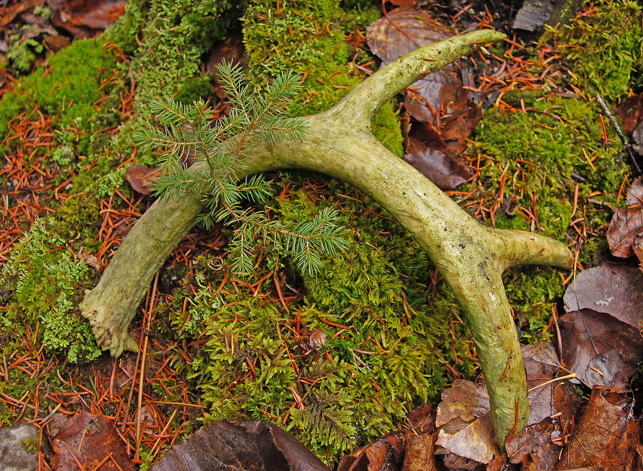 Shed Deer Antler<br /> <br /> The damp foggy conditions helped to bring out the green colors in this shed deer antler.