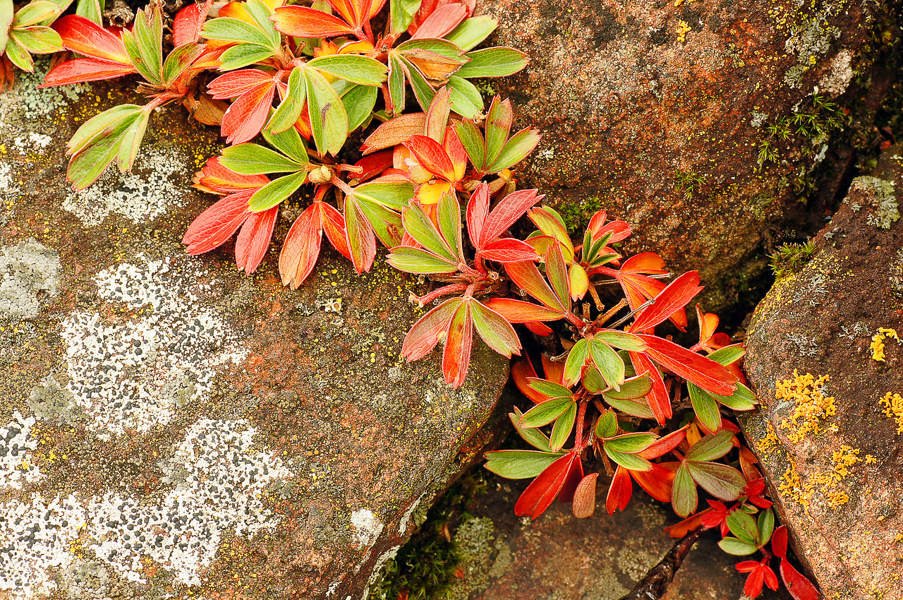 Three-toothed Cinquefoil<br /> <br /> After photographing the falls I hiked along the shoreline and found some very colorful Three-toothed Cinquefoil living in a crack in the rock. In the late fall, their leaves turn such a vibrant red that it added a splash of color to the rock ledges.