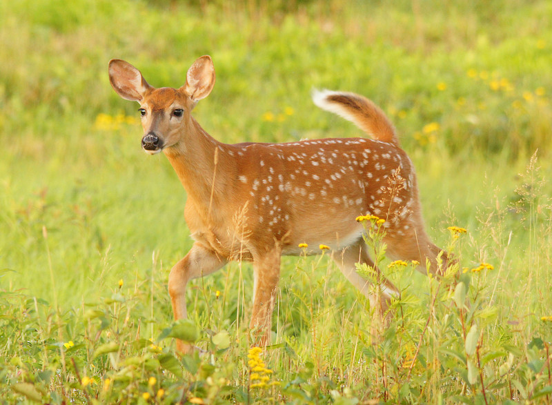 Whitetail Fawn 001<br /> <br /> The feel of fall is in the air. The whitetail fawns are now almost the size of their moms and their spots are starting to fade.
