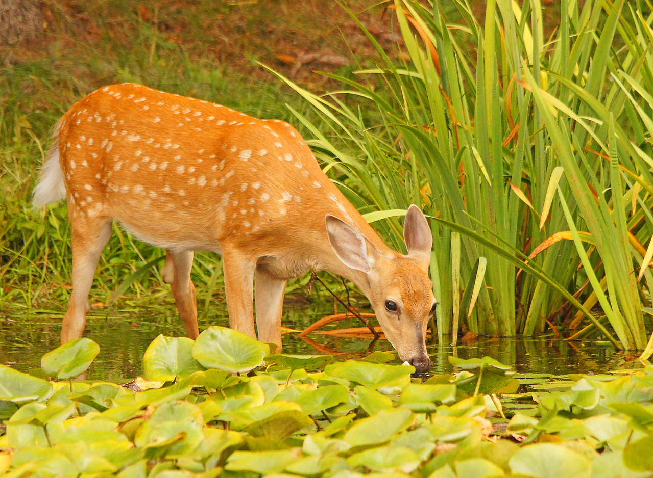 Whitetail Fawn 003<br /> <br /> I thought they were just drinking water but when I went outside to take some photos I was surprised to see them chowing down on the fragrant water lilies.