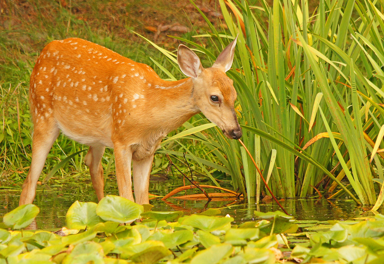 Whitetail Fawn 005<br /> <br /> I knew moose ate water lilies but didn't know that deer liked them also. One of the fawns chewed off the top and when he looked at me it looked like he was drinking water through a straw and made for a humorous photo.
