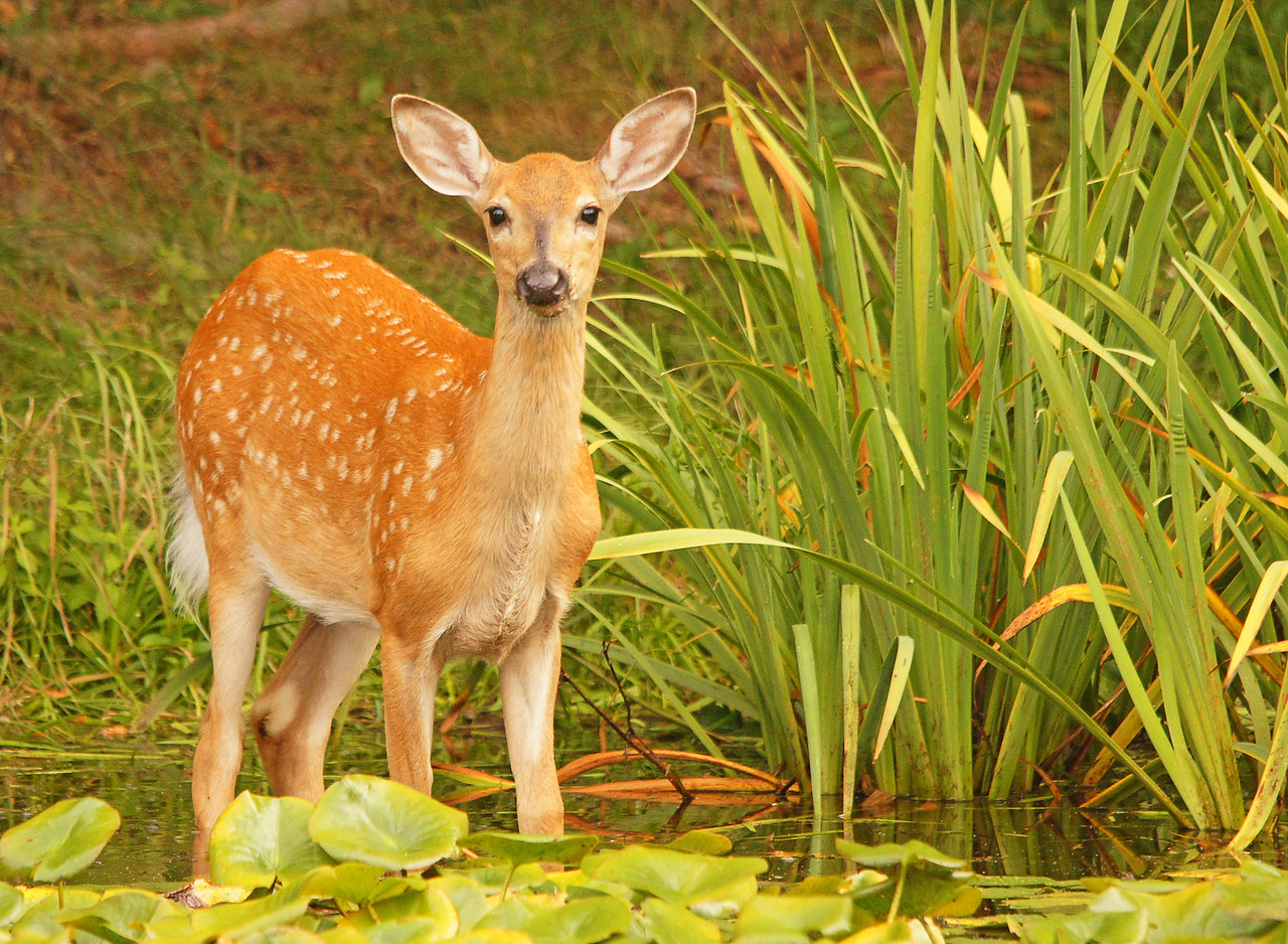 Whitetail Fawn 002<br /> <br /> A week ago when I looked out the window I saw a family of deer in our pond.