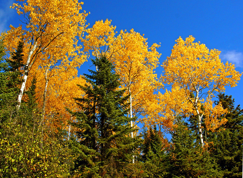 Golden Aspens<br /> <br /> This year the Aspen have exceptional color. I thought with the dry conditions that the colors wouldn't be as vibrant this year but I was wrong.   I think the Aspen will be colorful for another week barring any storms.