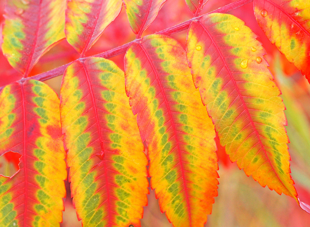 Sumac Leaves Grand Marais Overlook<br /> <br /> The bright sunny days have produced a color combination in the Sumac that I have never seen before.