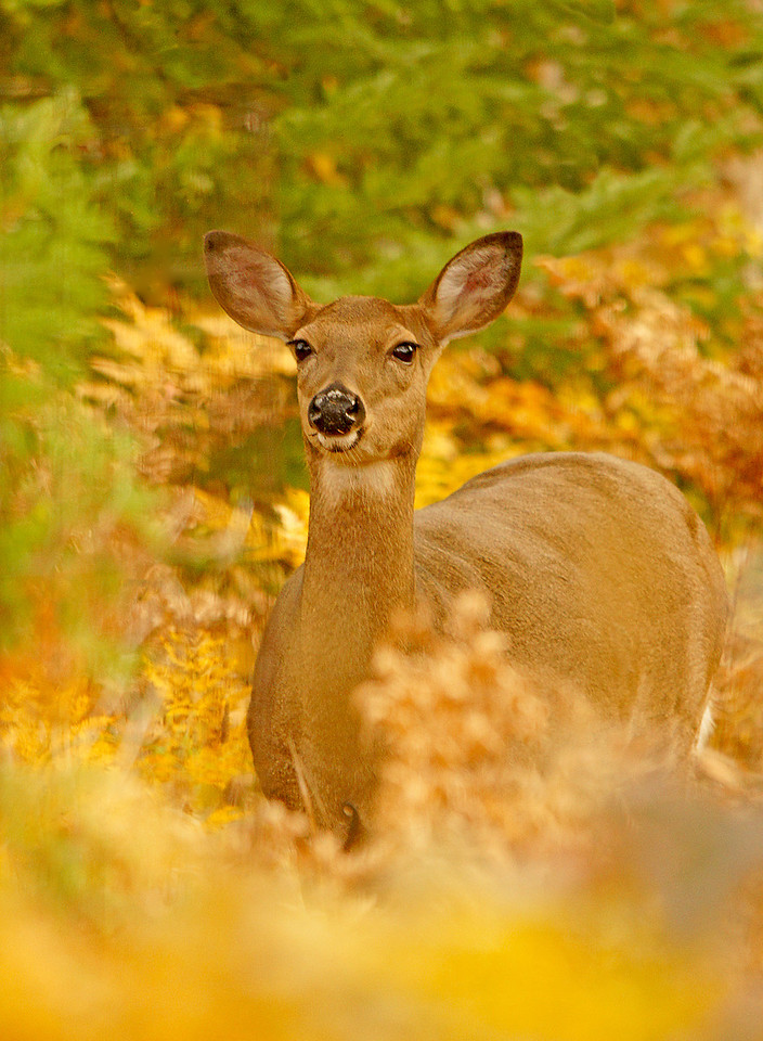 Whitetail Doe<br /> <br /> We were able to show our guests many whitetail deer.
