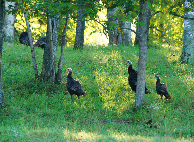 Wild Turkeys 002<br /> <br /> When they left the field they traveled through the oaks feeding on acorns that were dropping from the trees.