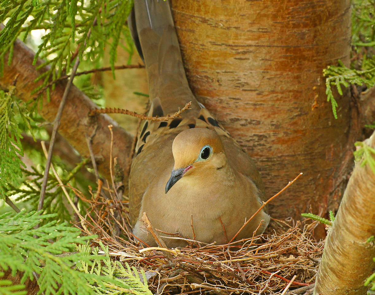 Mourning Dove <br /> <br /> Addie and I found a mourning dove nest along the hedge row. Addie thought that was pretty cool.