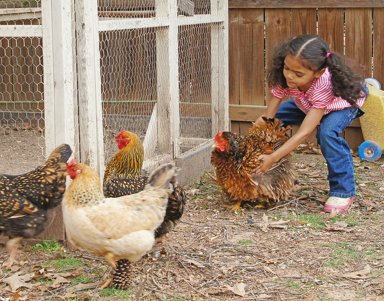 Free Range Chickens 001<br /> <br /> Addie has four free range chickens in her backyard. We had fresh eggs every morning.