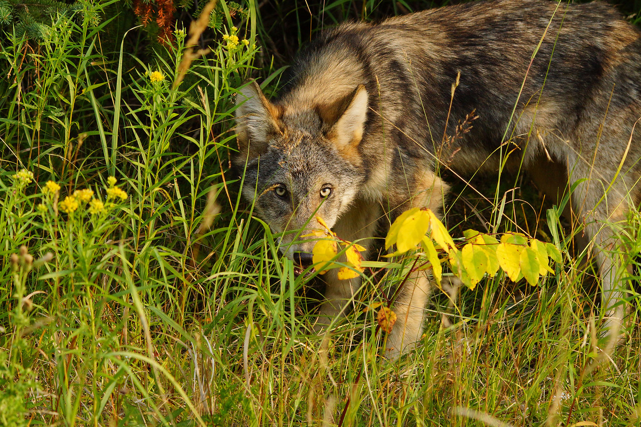 Gray Wolf Pup 006