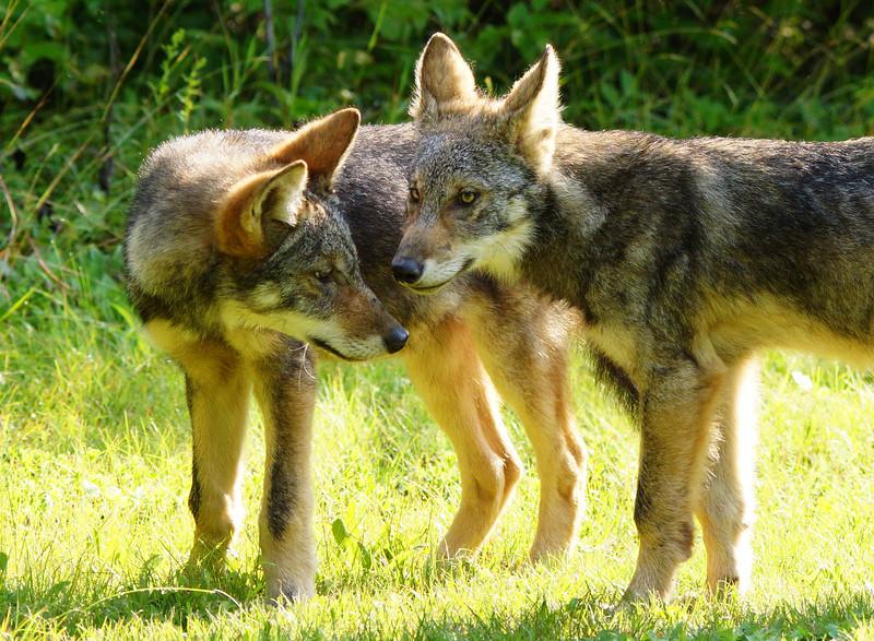 Gray Wolf Pups 009