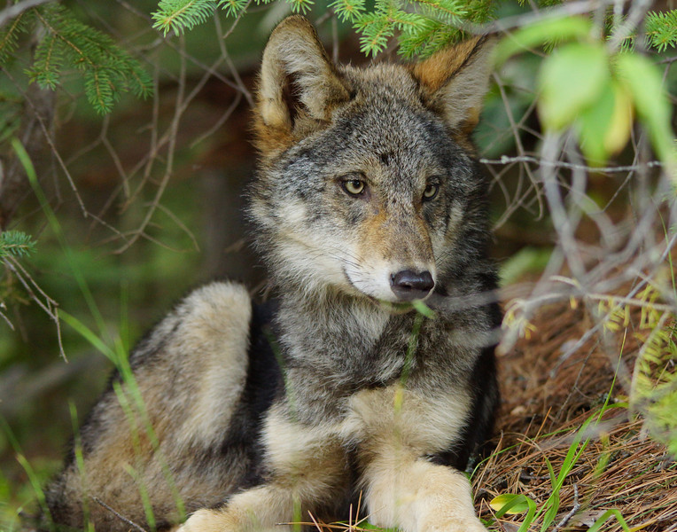 Gray Wolf Pup 007