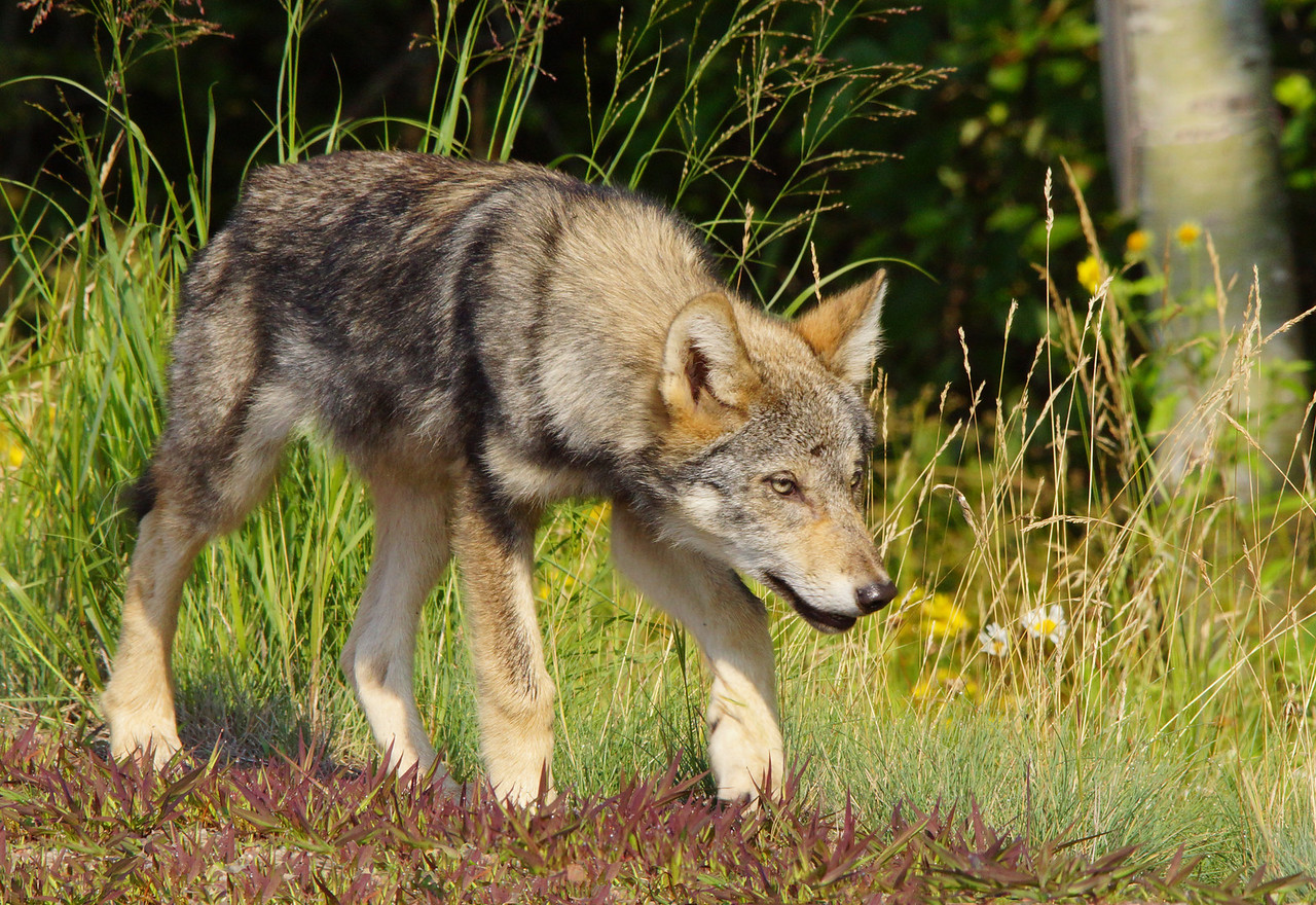 Gray Wolf Pup 005