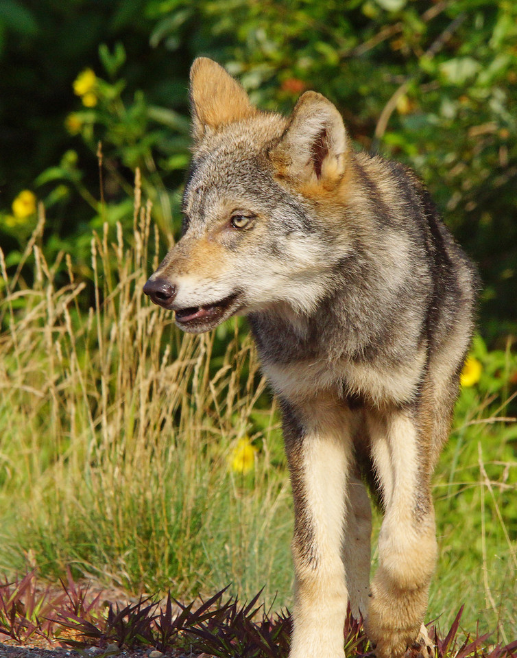 Gray Wolf Pup 010