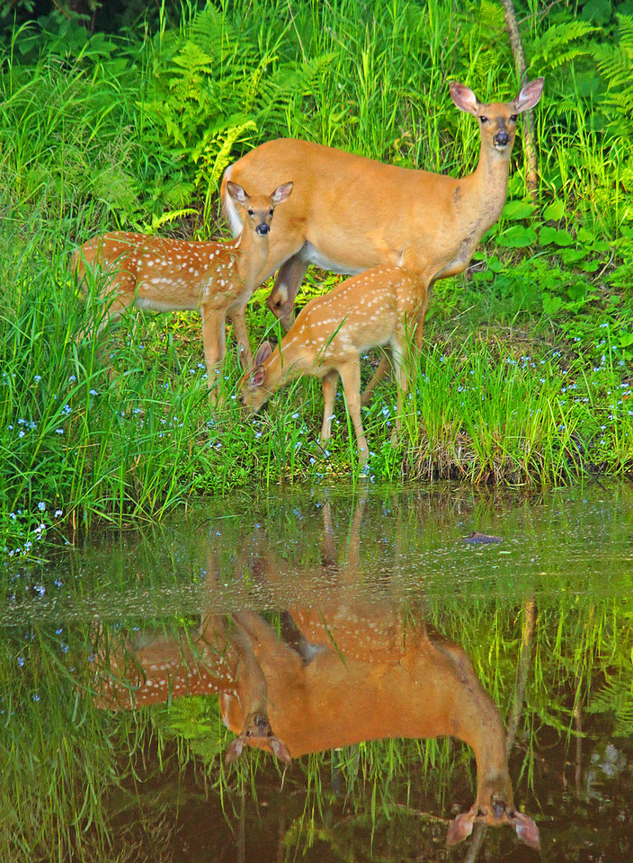 July White Tail Deer Family