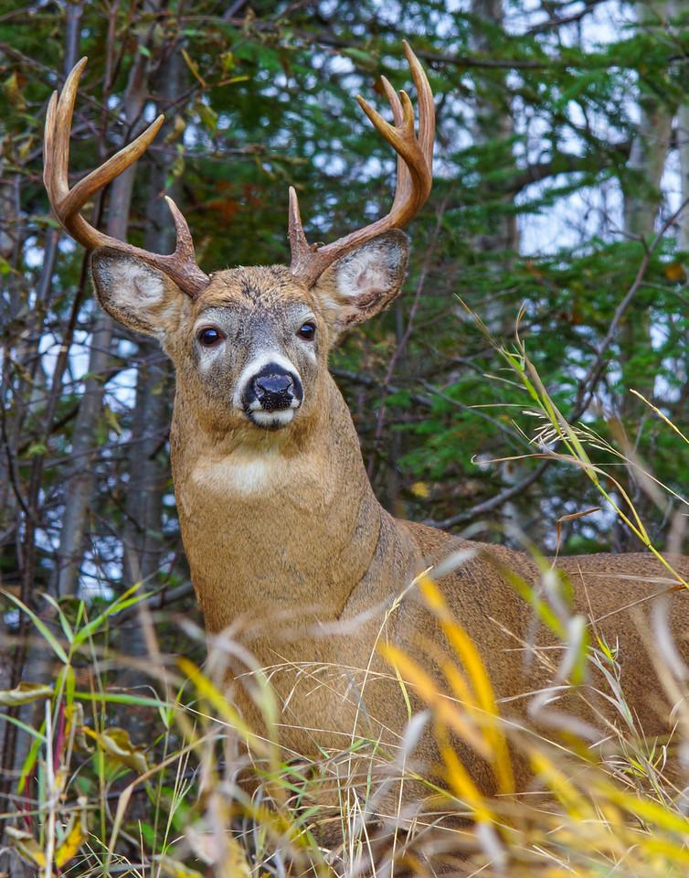 November Whitetail Buck