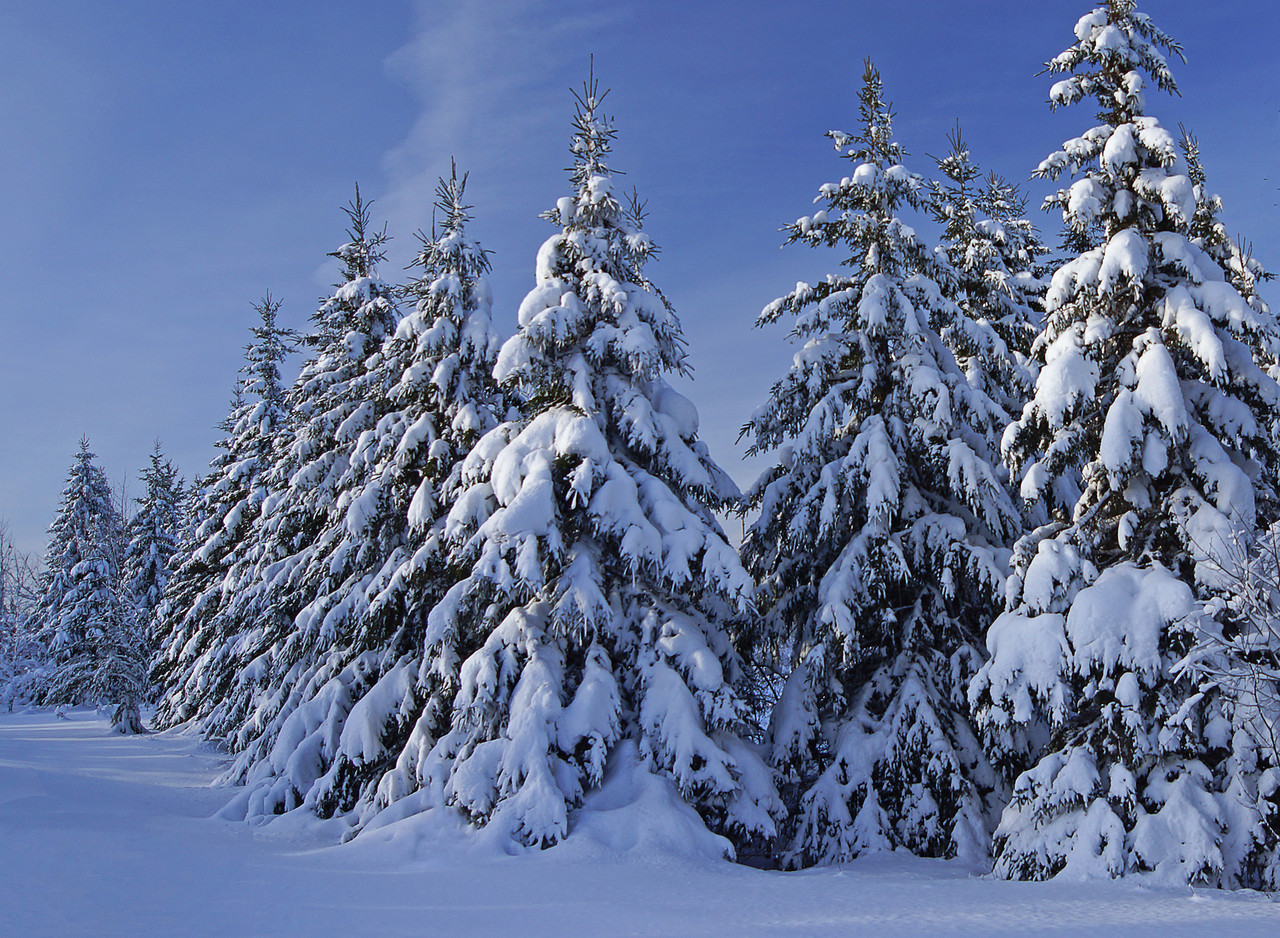 12 December Snow Covered Spruce